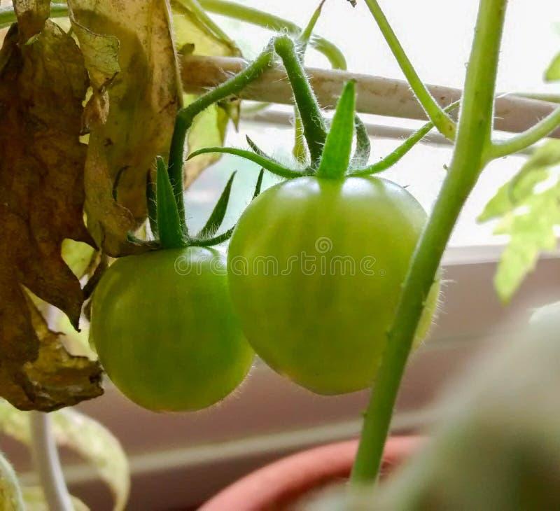 Kleine groene tomaten die op een wijnstok in een pot dichtbij venster groeien royalty-vrije stock afbeeldingen