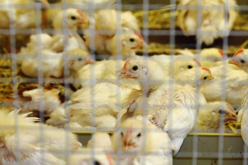 Kleine Hühner auf der Geflügelfarm lizenzfreie stockfotos