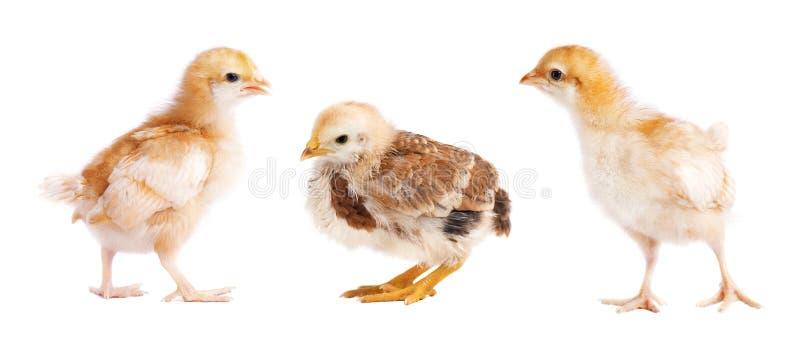 Kleine Hühner lokalisiert auf weißem Hintergrund Collage des Kükens lizenzfreie stockfotos