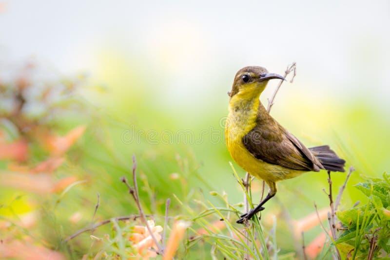 Kleine heldere gele die vogel op tak wordt neergestreken stock fotografie
