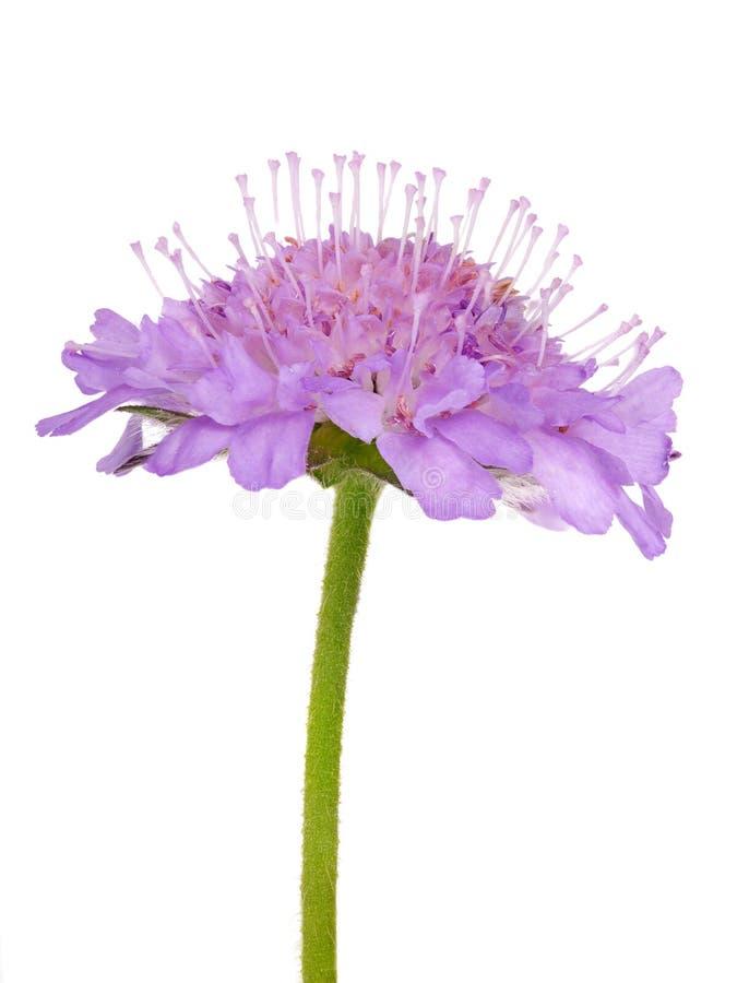 Kleine Helle Lila Blume Getrennt Auf Weiß Stockbild - Bild von ...