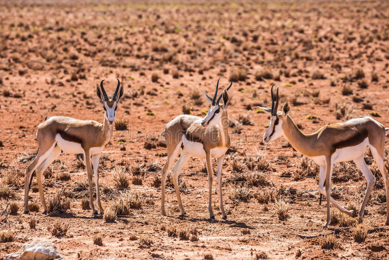 Kleine Herde der Springbockantilope stockfoto