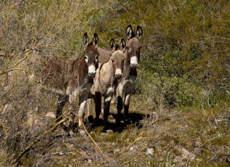 Kleine Herde von wilden Eseln in Arizona lizenzfreies stockfoto