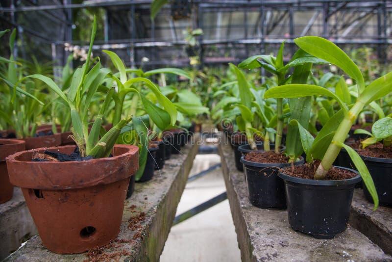 Kleine het groeien orchideezaailingen in de pottentuin in de serre stock foto