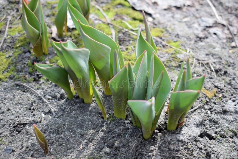 Kleine het groeien tulp in de lente De installatiebloem van het spruitenzaad royalty-vrije stock afbeelding