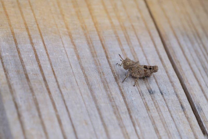 Kleine Heuschrecke auf Holz stockfoto