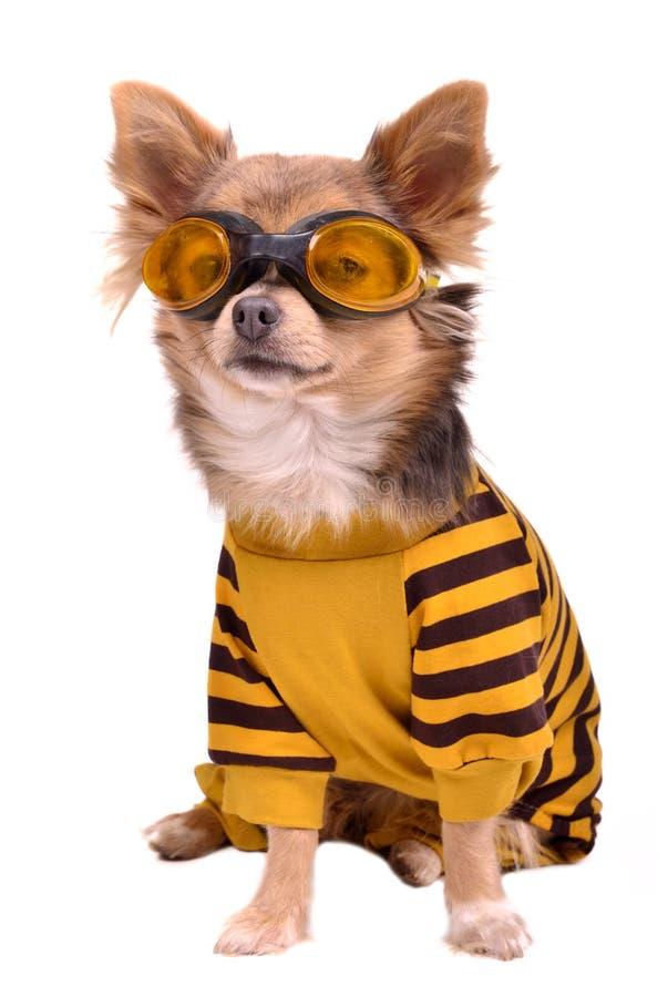 Kleine hond die gele kostuum en beschermende brillen draagt royalty-vrije stock afbeeldingen