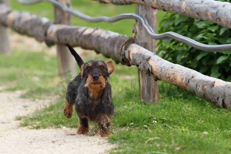 Kleine hond die naar camera lopen stock afbeeldingen