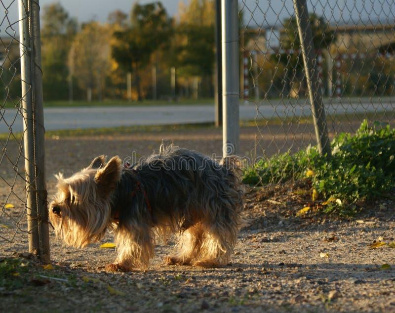 Kleine hond die waar hij zijn sleep zal verlaten kijken stock foto