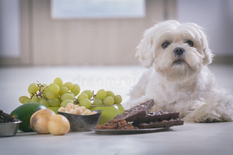 Kleine hond en voedsel giftig voor hem stock fotografie