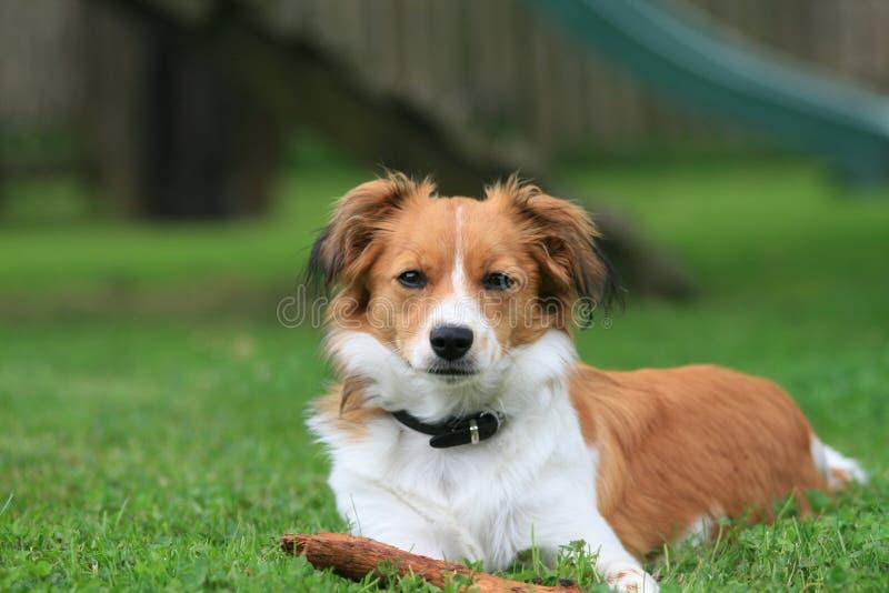 Kleine hond in het gras royalty-vrije stock afbeeldingen