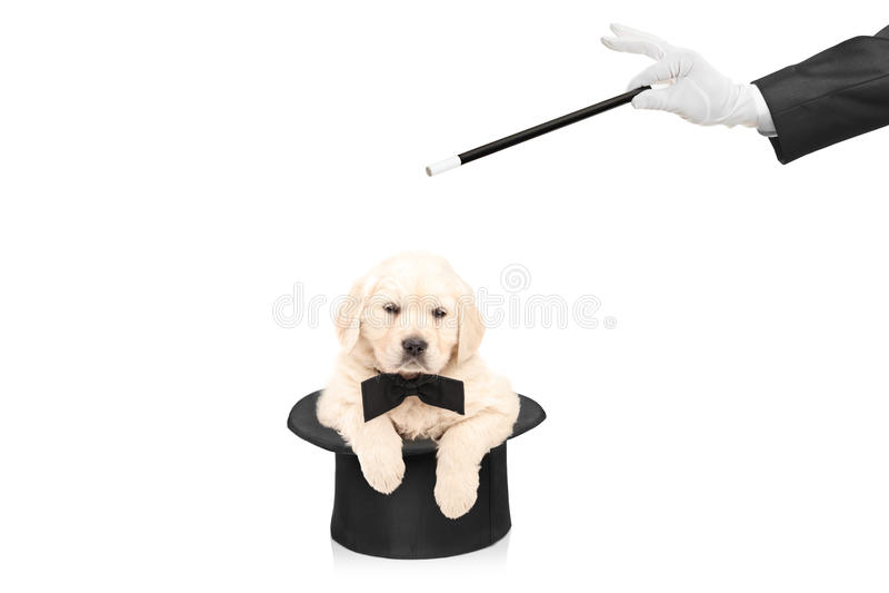 Kleine hond in hoge zijden en hand met een toverstokje royalty-vrije stock afbeeldingen