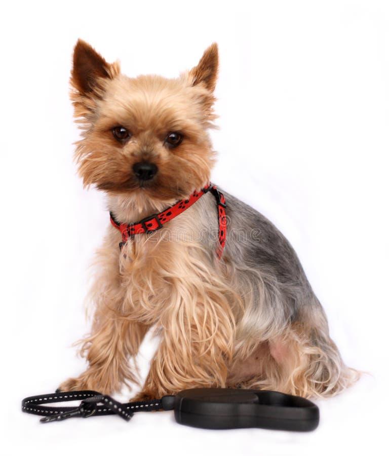 Kleine Hond met hond-Lood stock afbeelding