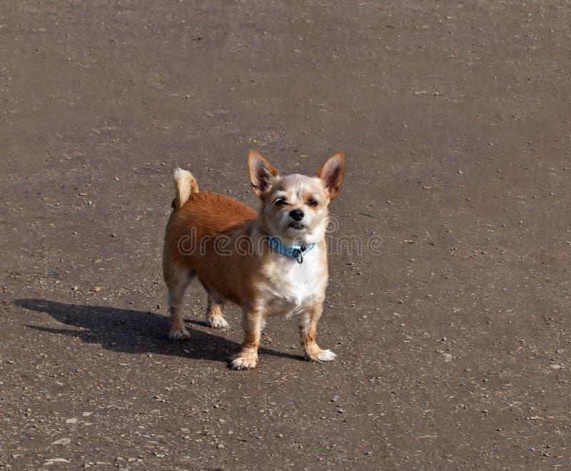 Kleine Hond met Houding royalty-vrije stock fotografie