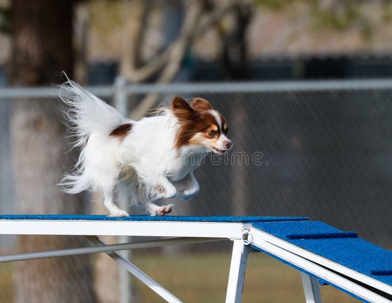 Kleine hond op de hondgang in behendigheid stock foto