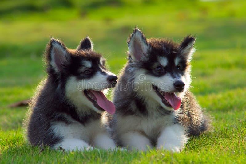Kleine honden royalty-vrije stock afbeeldingen