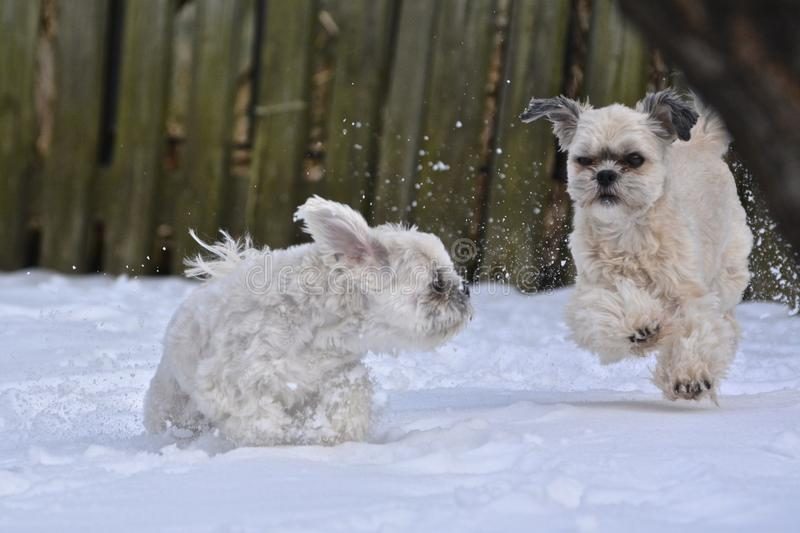 Kleine Hunde, die im Schnee spielen lizenzfreie stockfotos