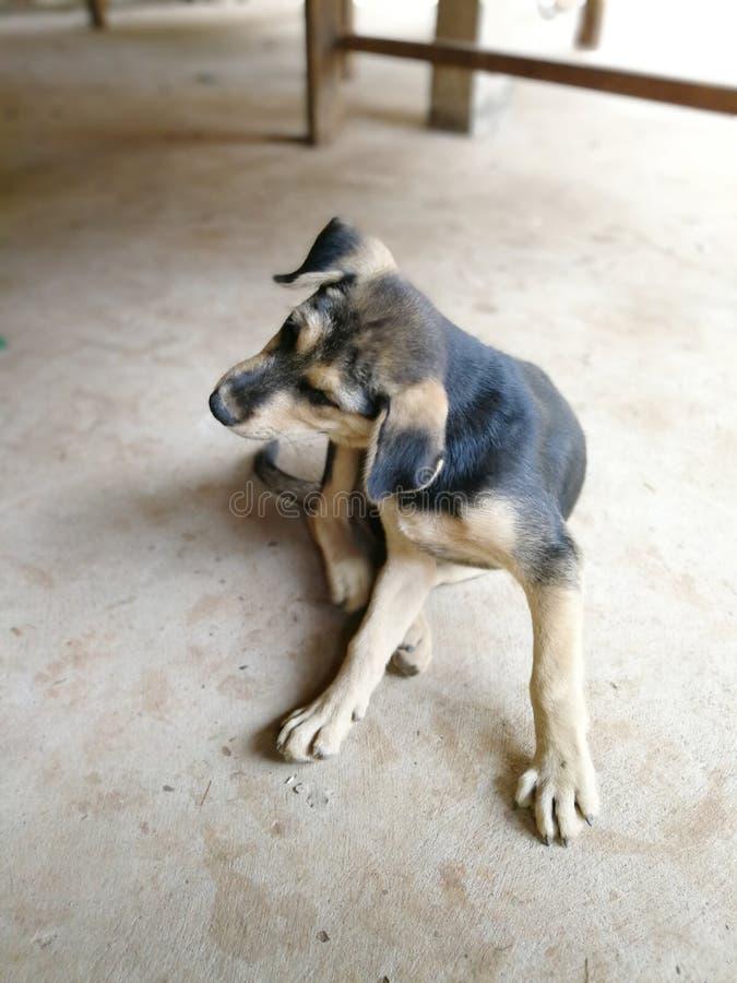 Kleine Hunde verkratzen sich stockbild