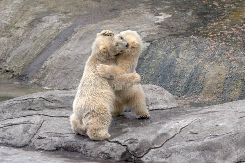 Kleine ijsberen op stenen royalty-vrije stock foto