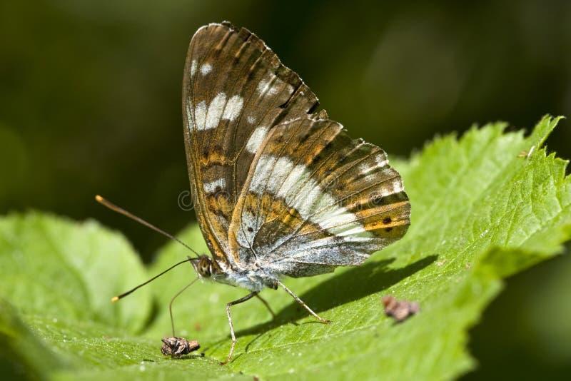 Kleine ijsvogelvlinder, λευκός ναύαρχος, Limenitis Camilla στοκ εικόνες