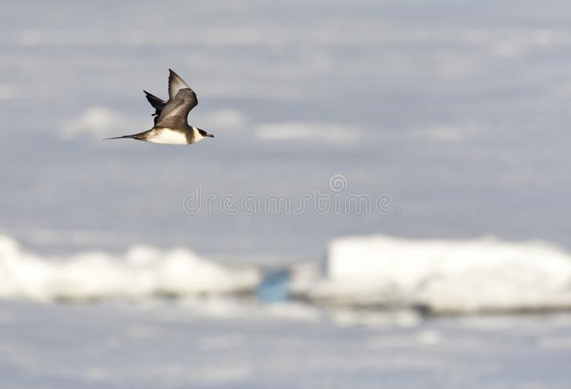 Kleine Jager, Parasitic Jaeger, Stercorarius parasiticus. Kleine Jager vliegend boven het pakijs; Parasitic Jaeger flying above the pack-ice; Spitsbergen stock photography