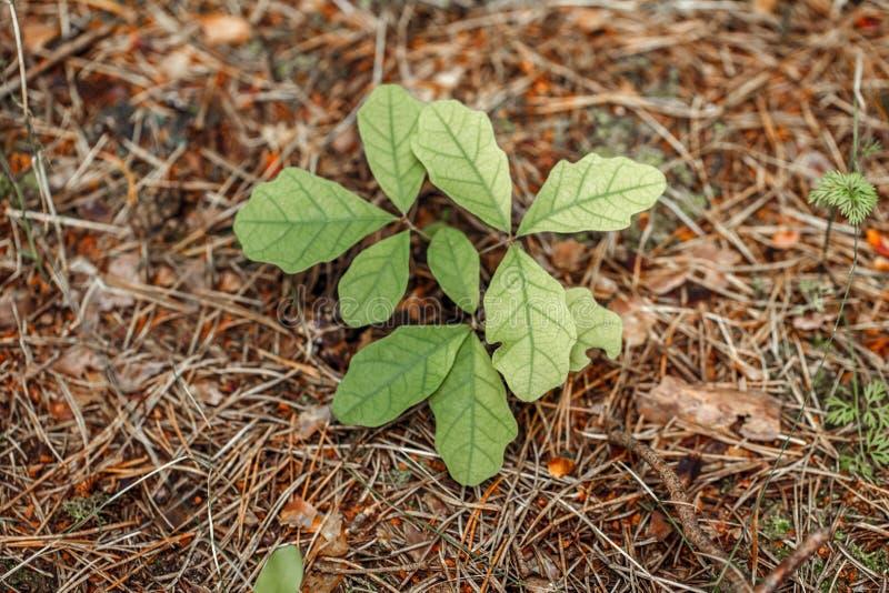 Kleine jonge eiken boomspruit met kleurrijke groene bladeren op de herfstachtergrond royalty-vrije stock foto's