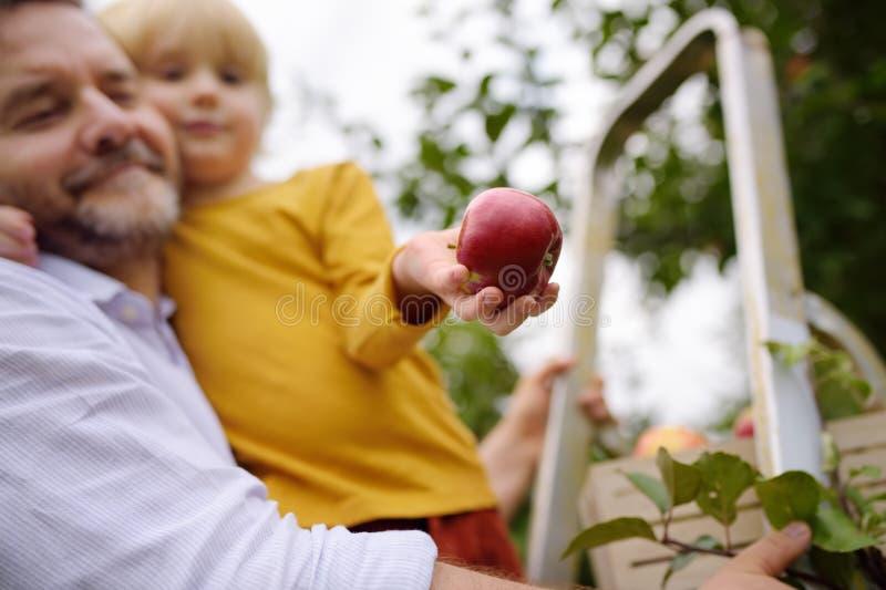 Kleine jongen met zijn vader die appels plukt in boomgaard Focus op grote rode appel in de hand van het kind royalty-vrije stock afbeelding