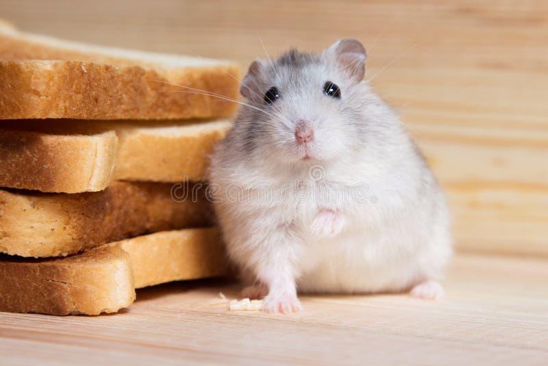 Kleine Jungar-hamster dichtbij de broodtoosts royalty-vrije stock foto