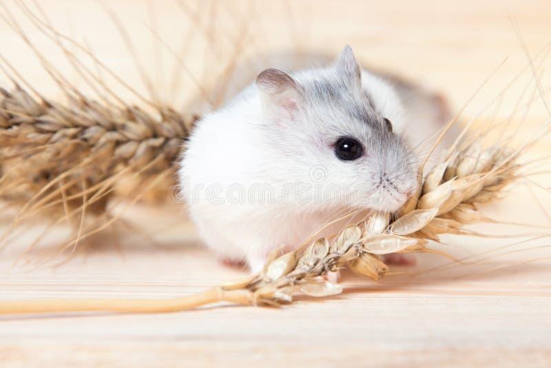 Kleine Jungar-hamster op een lijst met gerstaartjes stock afbeelding