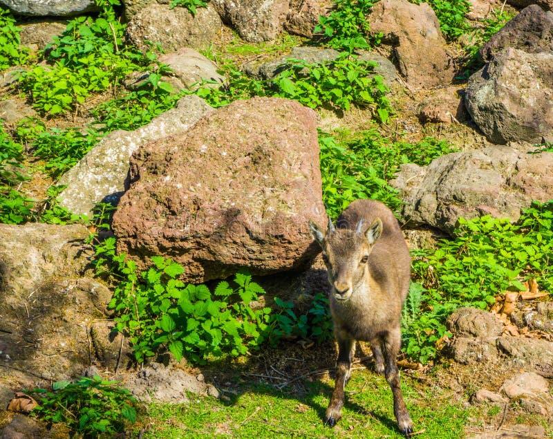 Kleine junge europäische gehörnte Babygemsen-Gebirgsziege, die vor einigen Felsen in den Bergen steht stockfotos