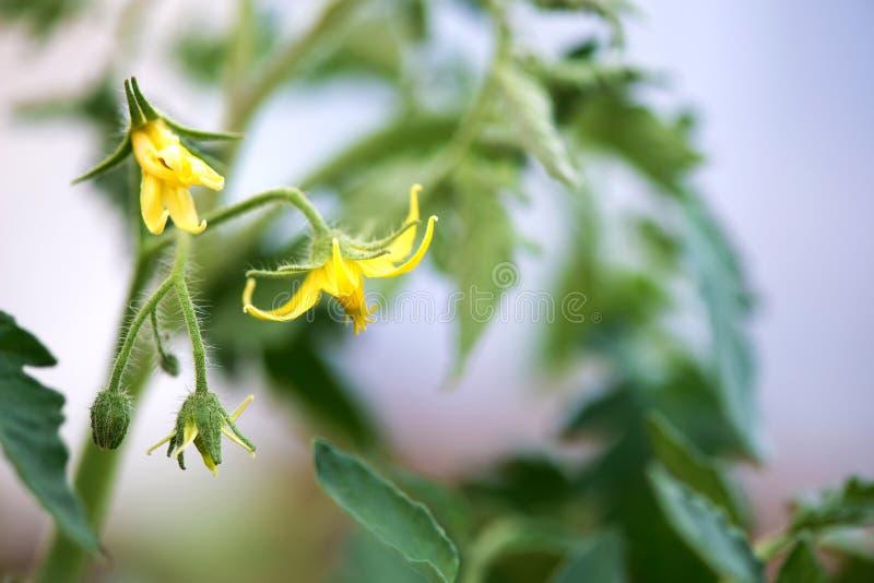 Kleine junge gelbe organische Tomatenblüten im Gewächshaus lizenzfreies stockbild