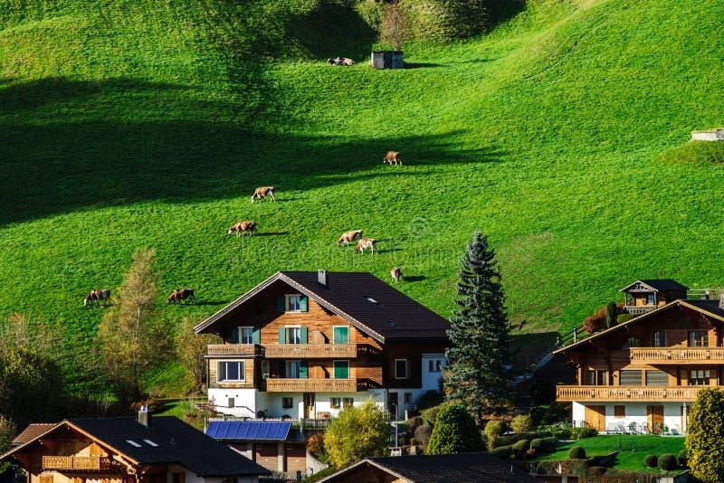 Kleine Kühe auf Hügel des grünen Grases nahe dem Dorf, Miniaturansicht lizenzfreie stockfotos
