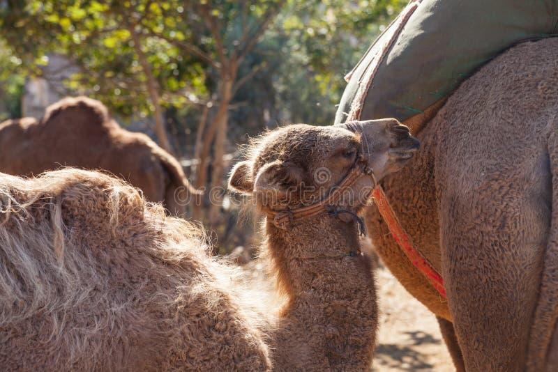 Kleine kameel met haar moeder stock fotografie