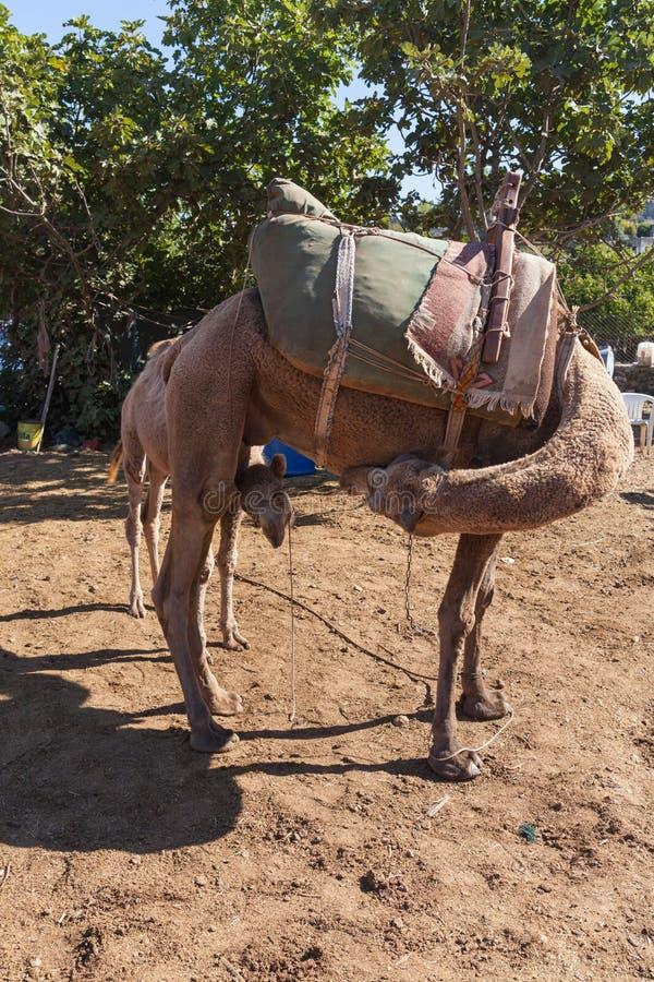 Kleine kameel met haar moeder stock afbeelding