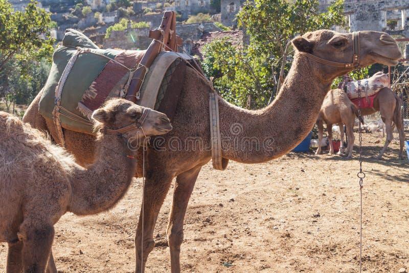 Kleine kameel met haar moeder stock foto's