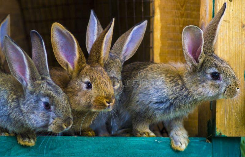 Kleine Kaninchen Kaninchen im Bauernhofkäfig oder -Kaninchenstall Züchtende Kaninchen c lizenzfreies stockbild