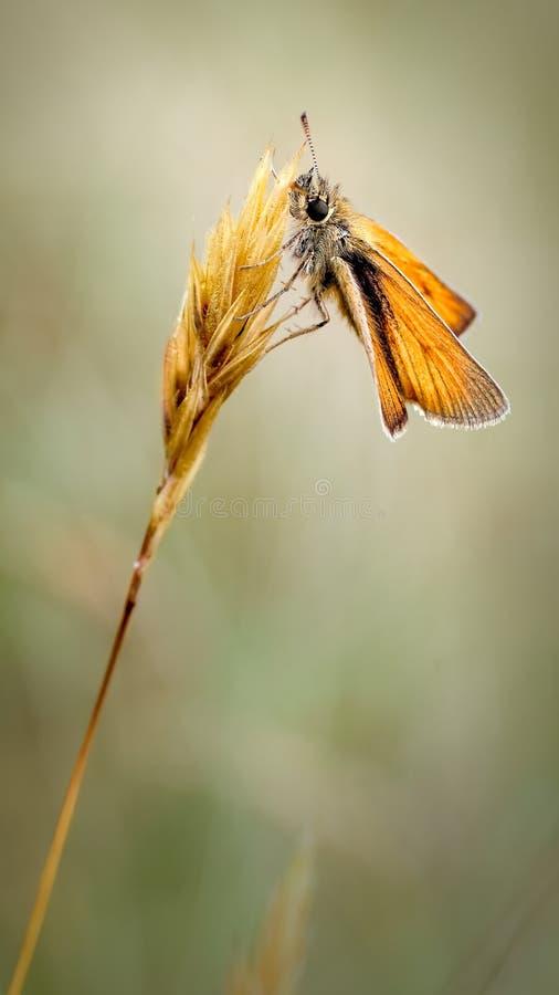 Kleine Kapiteinsvlinder, Thymelicus-sylvestris die op een Gras Hoofdbloeiwijze rusten stock afbeeldingen