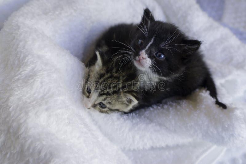 Kleine katjes die zich in de dekens nestelen stock foto