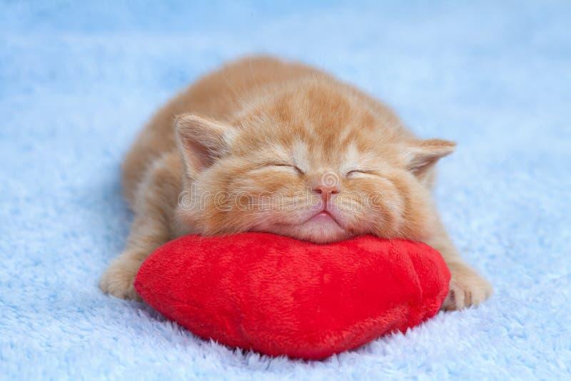 Kleine Katze, die auf dem Kissen schläft stockfotos