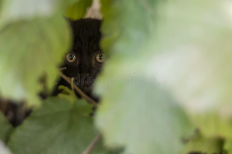 Kleine Katze mit großen Augen, die Sie betrachtet lizenzfreie stockfotos