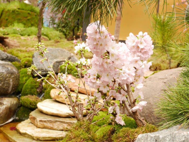 Kleine kersenboom met bloesems van de volledige bloei de roze kers royalty-vrije stock afbeeldingen