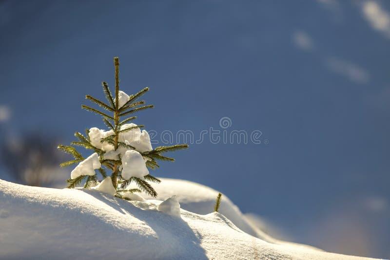 Kleine Kiefer mit den gr?nen Nadeln bedeckt mit tiefem frischem sauberem Schnee auf unscharfem blauem Kopienraumhintergrund Frohe stockfotografie