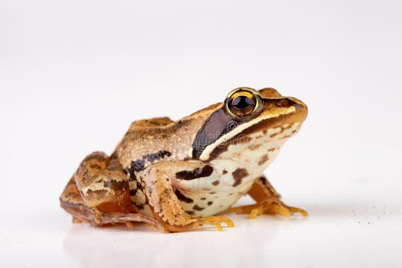 Kleine kikker op een witte lijst in een fotostudio Een kleine amfibie van Midden-Europa stock afbeeldingen