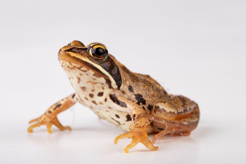 Kleine kikker op een witte lijst in een fotostudio Een kleine amfibie van Midden-Europa stock afbeelding