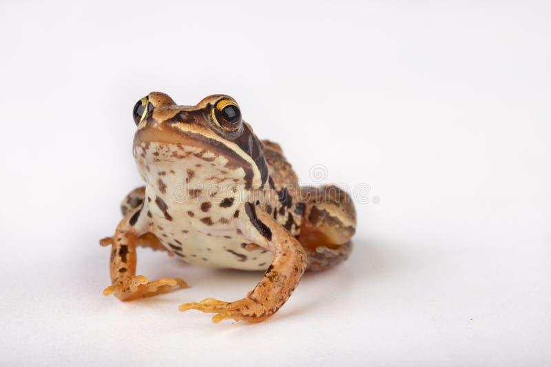 Kleine kikker op een witte lijst in een fotostudio Een kleine amfibie van Midden-Europa royalty-vrije stock fotografie