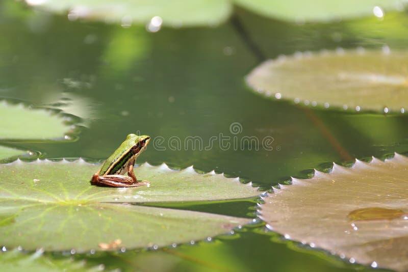 Kleine kikker op het lotusbloemblad royalty-vrije stock afbeelding