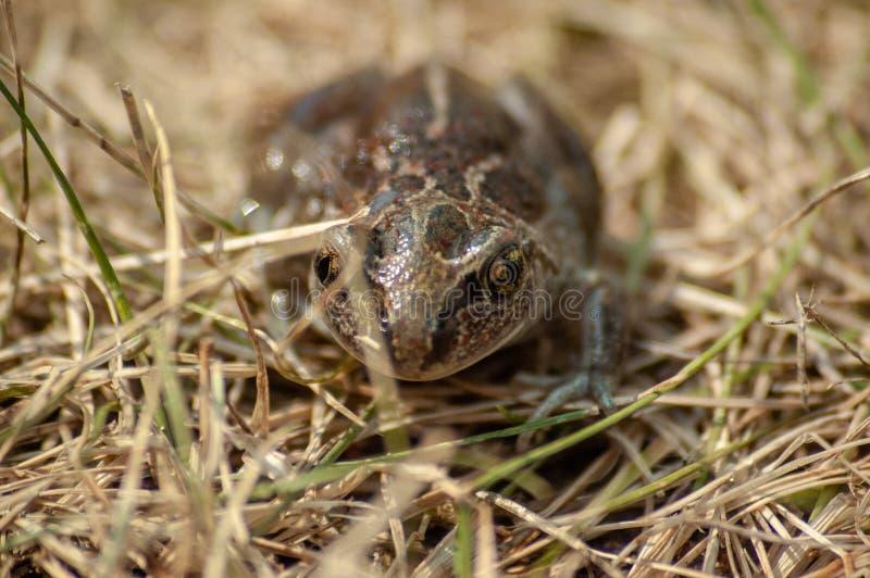 kleine Knoblauchkröte sitzt im Gras und in den Blicken in die Kamera lizenzfreie stockbilder