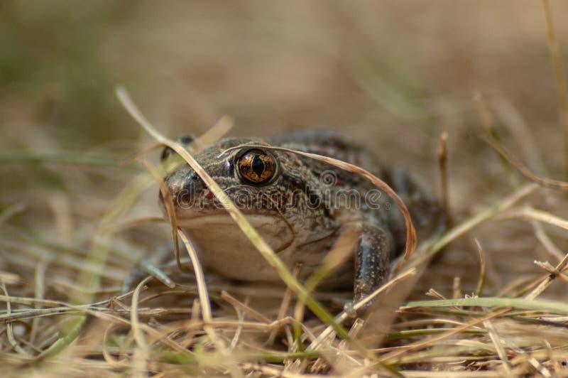 kleine Knoblauchkr?te sitzt im Gras und in den Blicken in die Kamera stockfoto