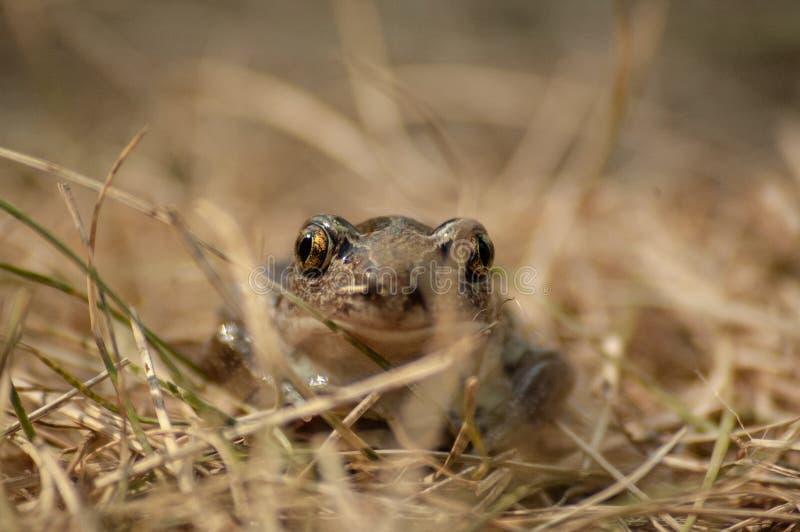 kleine Knoblauchkr?te sitzt im Gras und in den Blicken in die Kamera lizenzfreies stockbild