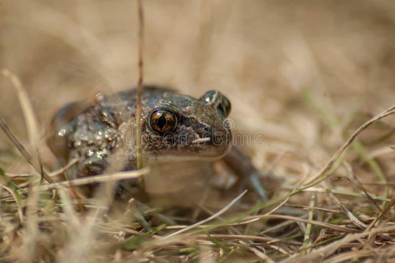 kleine Knoblauchkr?te sitzt im Gras und in den Blicken in die Kamera lizenzfreies stockfoto